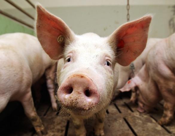 На Черкащині через африканську чуму знищили свиней