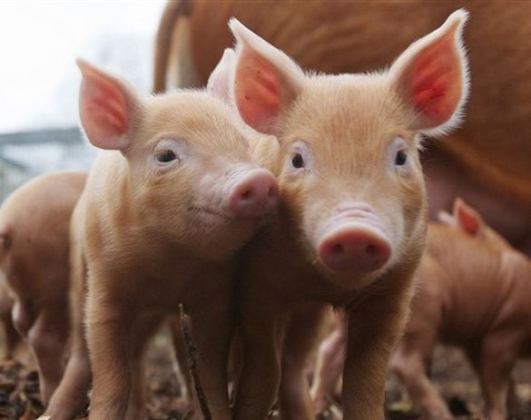 На Черкащині люди стривожені масовою загибеллю свиней