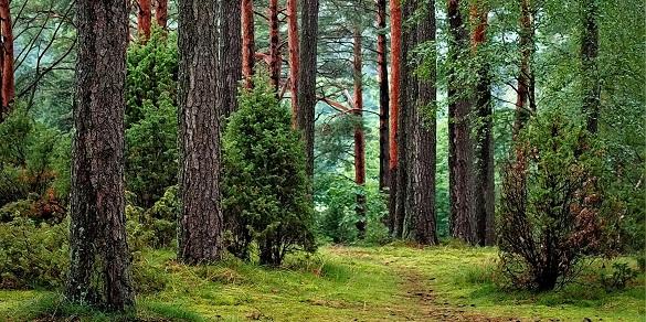 Лісівники показали масштаби всихання соснових лісів на Черкащині (ВІДЕО)