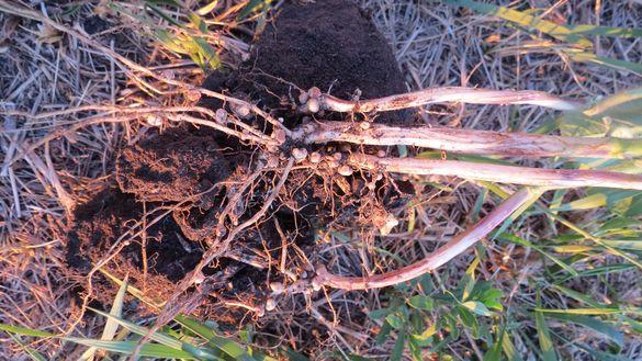 Ефективна інокуляція насіння бобових