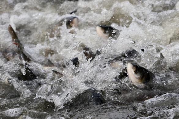 Понад 10 тисяч екземплярів риби випустять у Кременчуцьке водосховище в Черкасах