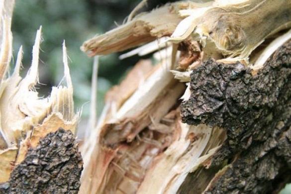 У Черкасах на вантажівку впало дерево (ВІДЕО)
