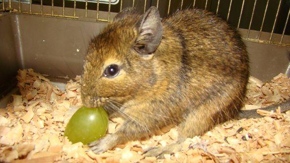 Черкащанам пропонують забрати із зоопарку  гризуна схожого на шиншилу (ФОТО)