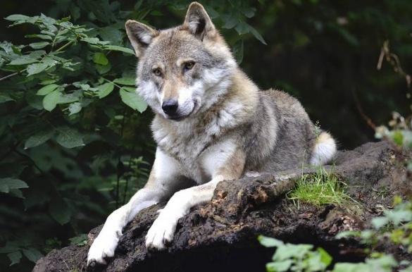 У черкаському зоопарку загинув вовк