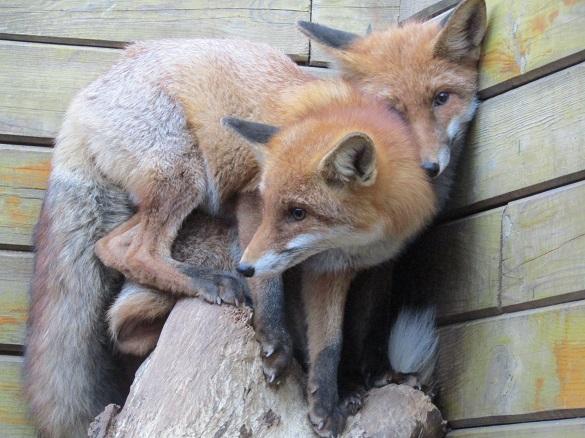 Черкасців запрошують в зоопарк на день лисиці