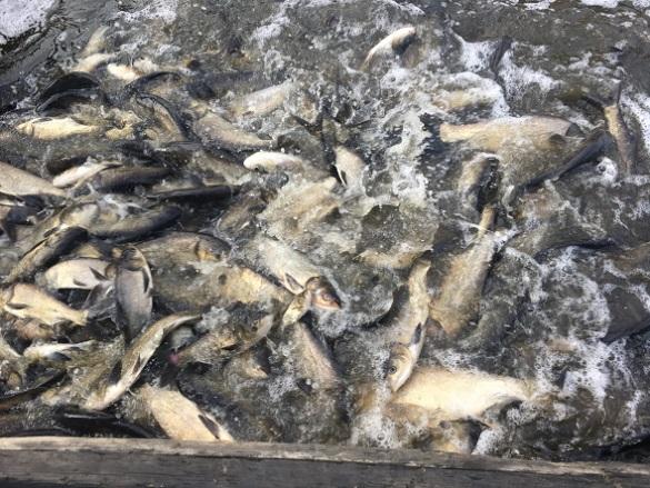 Майже 12 тисяч екземплярів: у Черкасах зарибнили річку Дніпро
