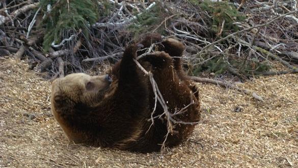 У черкаському зоопарку вже прокинулися ведмеді після зимової сплячки (ВІДЕО)
