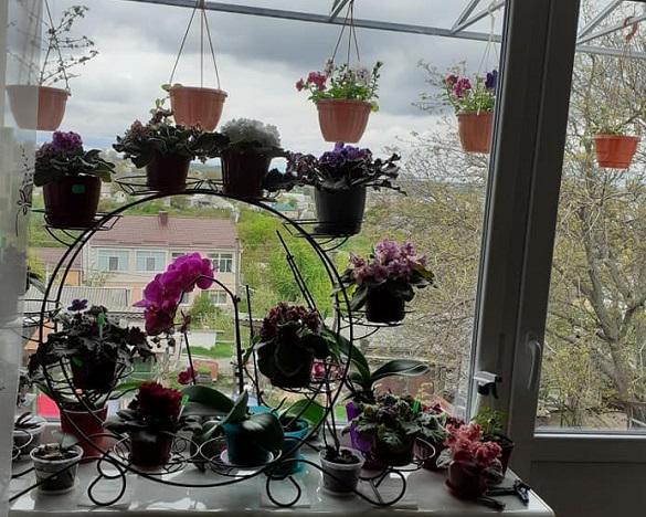 У власній квартирі черкащанка вирощує понад 70 сортів фіалок (ФОТО)